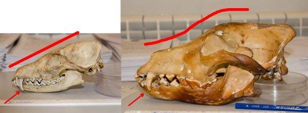 Comparativa entre un cráneo de Vulpes vulpes (izda.) y Canis lupus signatus (dcha.)