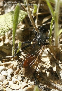Dasyopogon diadema (Autora: Fani Martínez)