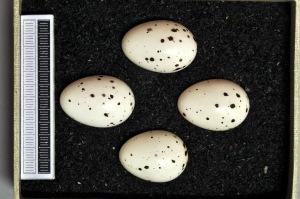 Pocas manchas bien definidas en Oriolus oriolus