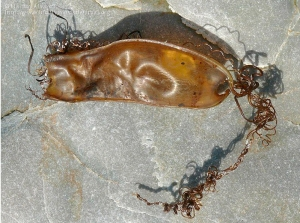 Cápsula de Scyliorhinus canicula con sus cuernecillos en forma de zarcillos (Autora: Marián Álvarez)